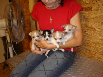 chihuahua pups voor adoptie