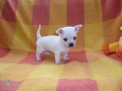 2 t-cup Chihuahua's voor adoptie