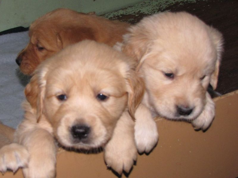 5 golden retriever puppies