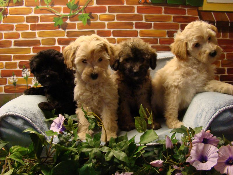 Labradoodle pups medium en mini